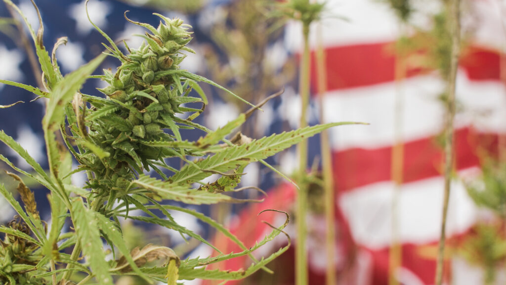 Cannabis or Marijuana plant in front of American Flag